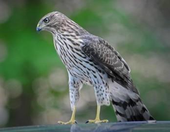 Imperial-Hawk